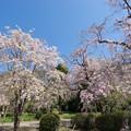 Photos: 神代植物公園【八重紅枝垂桜】1-4