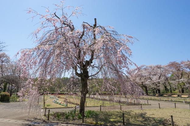 神代植物公園【八重紅枝垂桜】2-1
