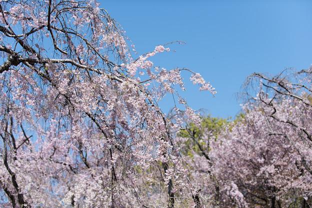 神代植物公園【八重紅枝垂桜】2-3