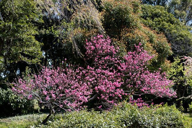 神代植物公園【ハナモモ:菊桃】1