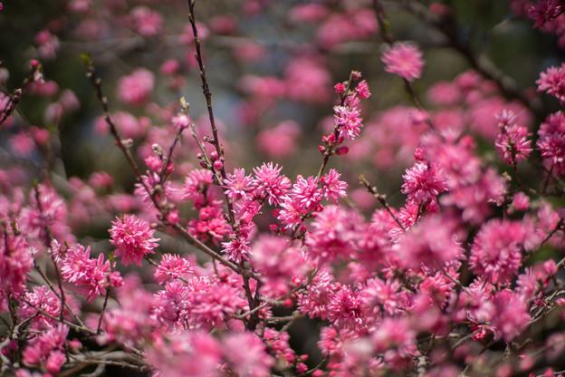 神代植物公園【ハナモモ:菊桃】3