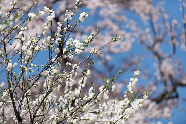 神代植物公園【ハナモモ:源平】2
