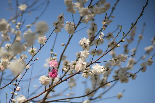 神代植物公園【ハナモモ:源平】5