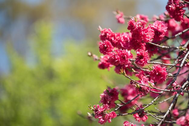 神代植物公園【ハナモモ:黒皮】3