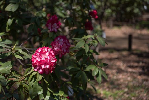 神代植物公園【シャクナゲ:ミセス・ルーズベルト】1