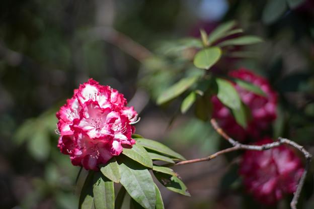 神代植物公園【シャクナゲ:ミセス・ルーズベルト】2