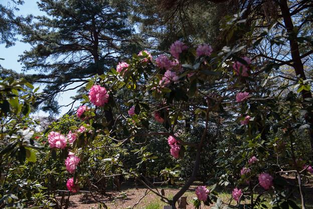 神代植物公園【シャクナゲ:夢路】1