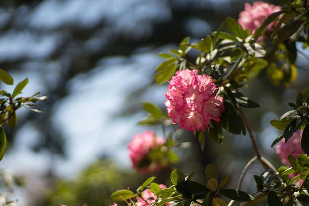 神代植物公園【シャクナゲ:夢路】2
