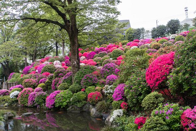 根津神社【楼門付近から見るツツジ苑】1