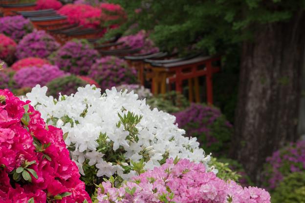 根津神社【ツツジと千本鳥居】3