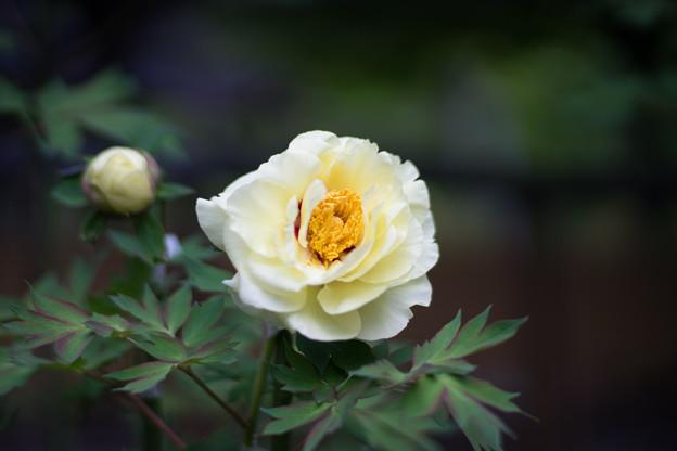 町田ぼたん園【牡丹:黄冠】