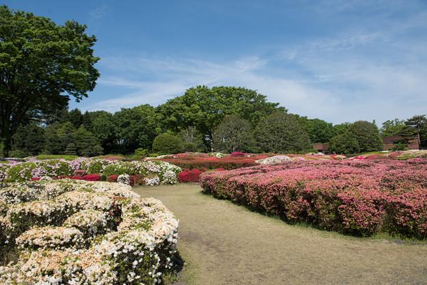 神代植物公園【つづじ園】04