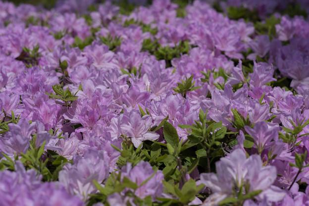 神代植物公園【躑躅:紫琉球】