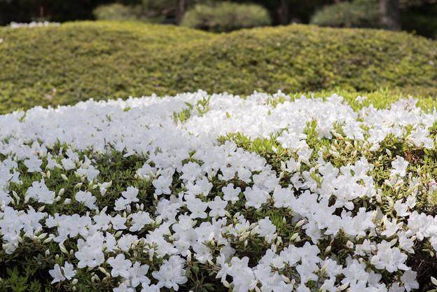 神代植物公園【躑躅:白琉球】