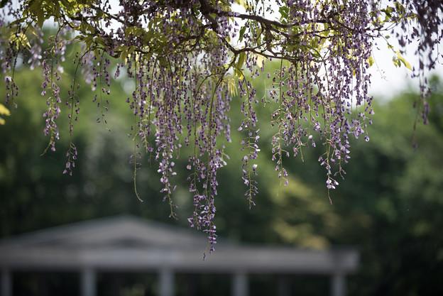 神代植物公園【藤の花】01