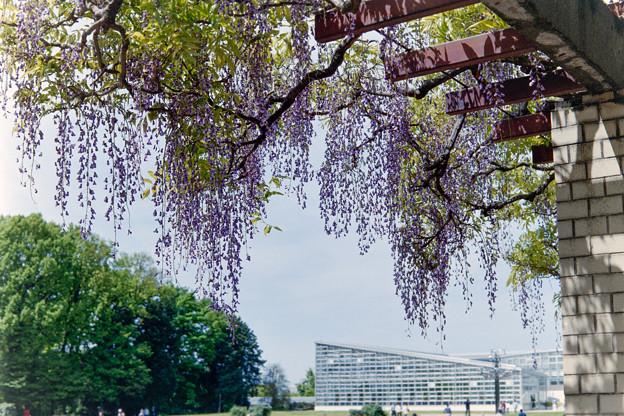 神代植物公園【藤の花】02銀塩