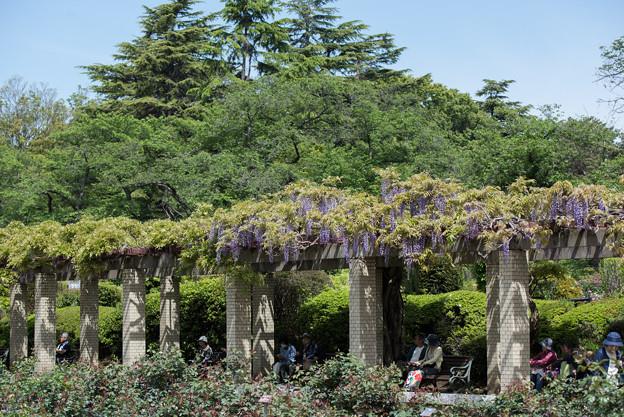 神代植物公園【藤の花】06