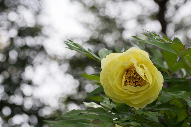 神代植物公園【牡丹:ハイヌーン】