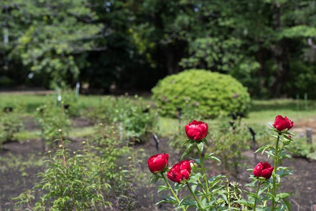 神代植物公園【芍薬:レッドローズ】