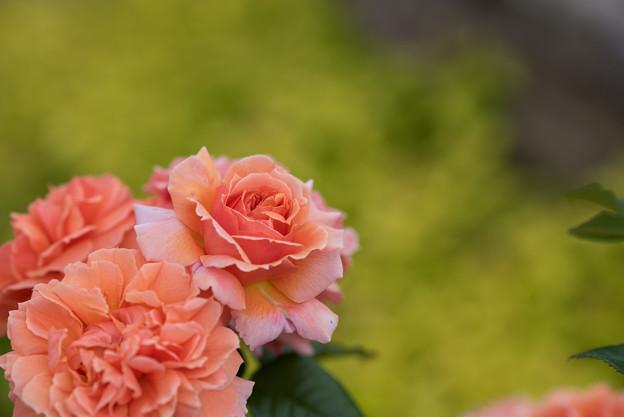 花菜ガーデン【春バラ:花菜ローズ】3