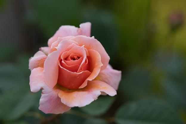 花菜ガーデン【春バラ:花菜ローズ】4