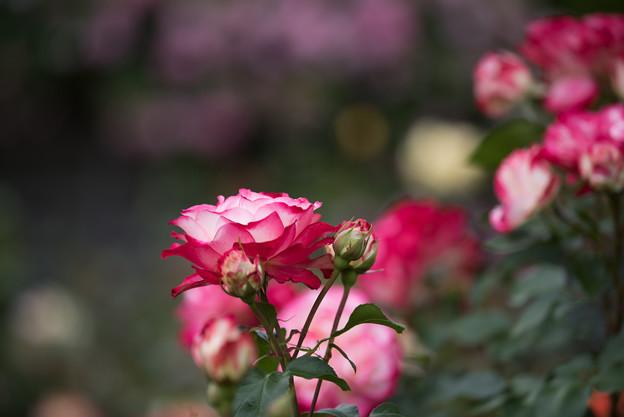 花菜ガーデン【春バラ:ジュビレ・デュ・プリンス・ドゥ・モナコ】2