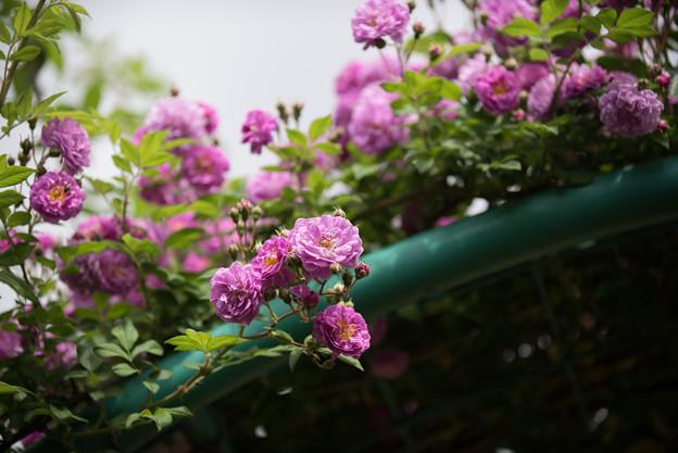 花菜ガーデン【春バラ:ブルー・ランブラー】2