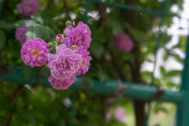 花菜ガーデン【春バラ:ブルー・ランブラー】3