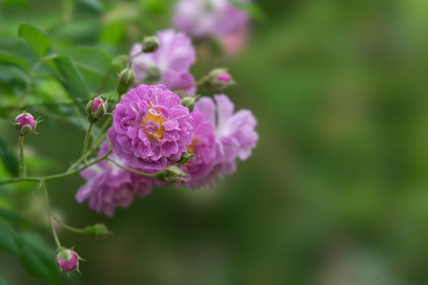 花菜ガーデン【春バラ:ブルー・ランブラー】5