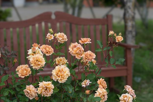 花菜ガーデン【春バラ:ラフィネポルテ】1