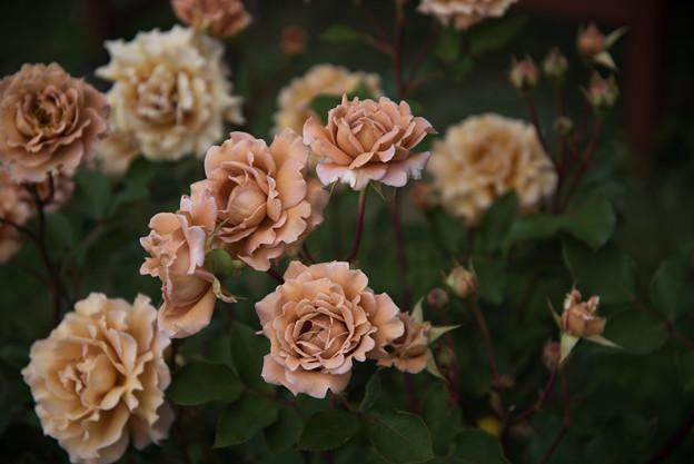 花菜ガーデン【春バラ:ラフィネポルテ】2