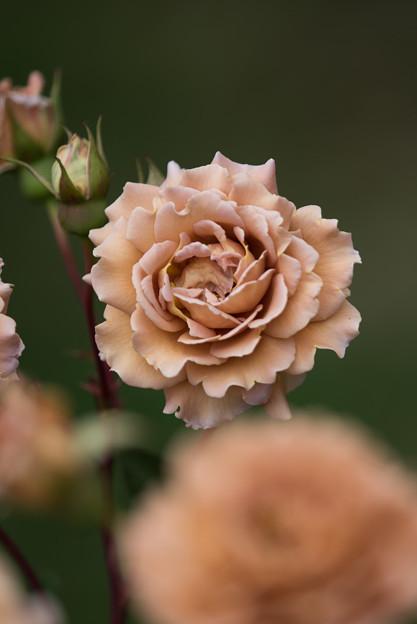 花菜ガーデン【春バラ:ラフィネポルテ】4