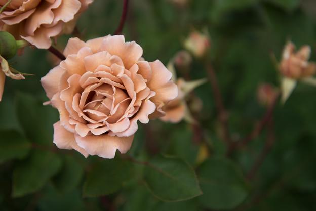 花菜ガーデン【春バラ:ラフィネポルテ】5