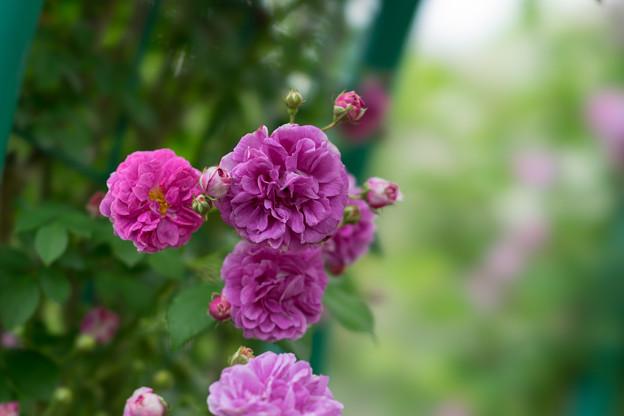 花菜ガーデン【春バラ:ケイコズ・ドリーム】1
