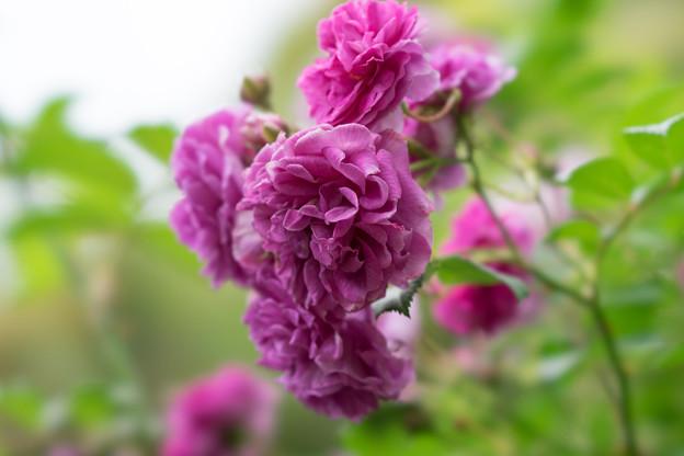花菜ガーデン【春バラ:ケイコズ・ドリーム】2