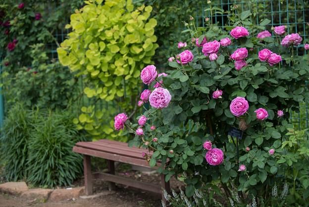 花菜ガーデン【春バラ:ポールネイロン】1