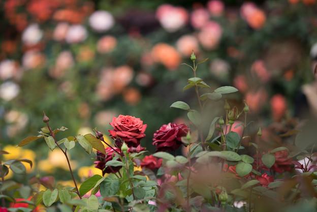 花菜ガーデン【春バラ:チョコレート・プリンス】1
