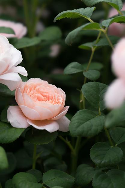 花菜ガーデン【春バラ:クィーン・オブ・スウェーデン】1