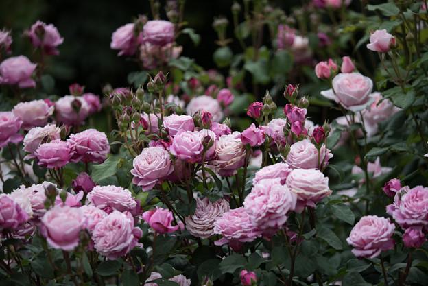 花菜ガーデン【春バラ:シャンテ・ロゼ・ミサト】1