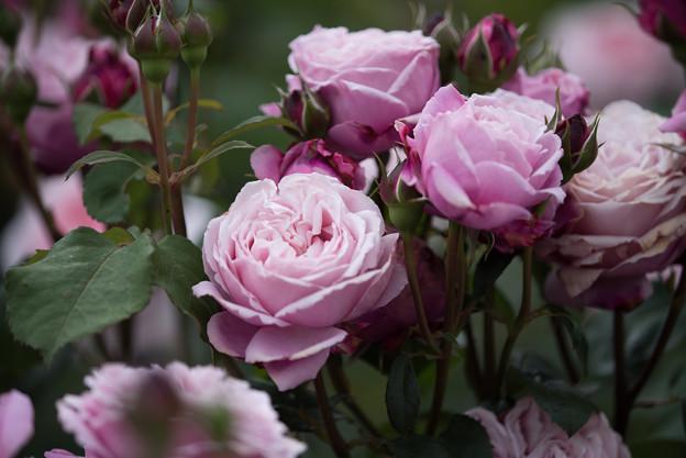 花菜ガーデン【春バラ:シャンテ・ロゼ・ミサト】2