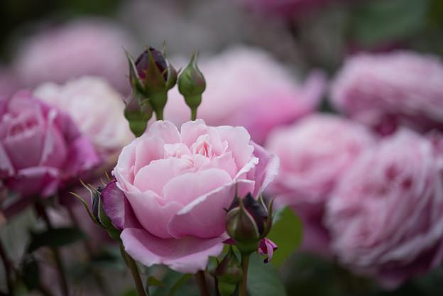 花菜ガーデン【春バラ:シャンテ・ロゼ・ミサト】3