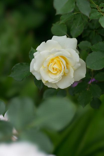 花菜ガーデン【春バラ:和音】1
