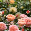 Photos: 花菜ガーデン【春バラ:レディ・エマ・ハミルトン】