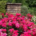 Photos: 花菜ガーデン【春バラ:ノックアウト】