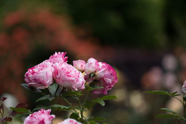 花菜ガーデン【春バラ:センチメンタル】1