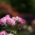 Photos: 花菜ガーデン【春バラ:センチメンタル】1