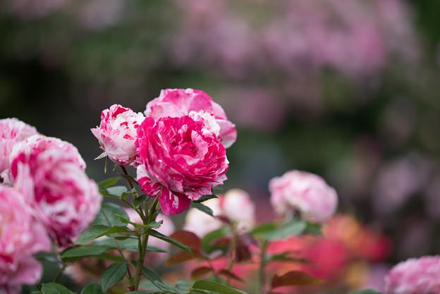 花菜ガーデン【春バラ:センチメンタル】2