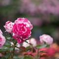 Photos: 花菜ガーデン【春バラ:センチメンタル】2