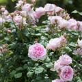 Photos: 花菜ガーデン【春バラ:ワイフ・オブ・バス】1