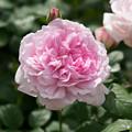 Photos: 花菜ガーデン【春バラ:ワイフ・オブ・バス】2